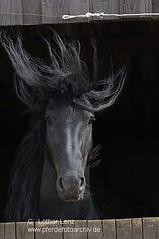 _LE41934 (Lothar Lenz) Tags: horse poster caballo cheval stall cover lustig kalender cavallo cavalo pferd hest equus paard titel hst hengst friese hestur mhne konj hobu zirgs friesur lotharlenz