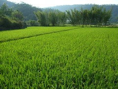 (judie35) Tags: green field rice taiwan sanyi