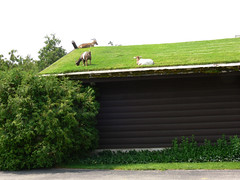 goats on roof - by driftlessMedia