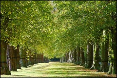 Lime Tree Avenue, Clumber Park, Nottinghamshire
