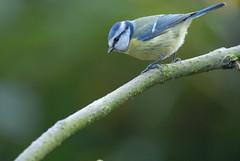 Blue Tit (Parus caeruleus) (m. geven) Tags: birds garden vogels d200 tuin pimpelmees bluetit featheryfriday 200400vr