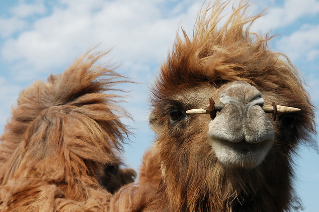 Sassy, a bactrian camel