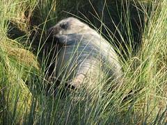 Seal pup (fuzzypurple) Tags: seals donnanook