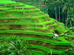 The Green Terrace (Araleya) Tags: travel bali green beautiful indonesia lumix evening interestingness colorful asia southeastasia rice paddy farmers vivid colourful agriculture ubud iloveit araleya interestingness311 i500 bluelist abigfave 30faves30comments300views terracedpaddy