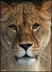 Her Royal Highness (Edgar Thissen) Tags: 20d cat canon mammal zoo bravo quality lion predator lioness antwerpen mw pantheraleo pgphotography magicdonkey edgarthissen 11080 outstandingshots specanimal abigfave outstandingshotshighlight