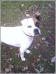 Sugar (Just Jefa) Tags: dog brown sugar boxer patch whitedog floppyears boxermix sweetdog brownandwhitedog