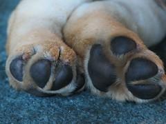 Feet (Somerslea) Tags: dog pet golden duck labrador hunting turbo hunter goldenlabrador views100pool reveley somerslea duckdog under150 mareeareveley