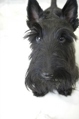 Harry! (Lozzone) Tags: portrait dog black animal terrier breed scotish