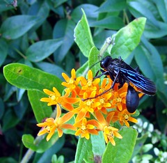 Black wasp on butterflyweed (Martin LaBar) Tags: flowers orange black flower macro insect wasp southcarolina apocynaceae arthropod sphecid hymenoptera asclepias butterflyweed asclepiastuberosa pickenscounty 10faves 2on2 sphex a1f1 p1f1