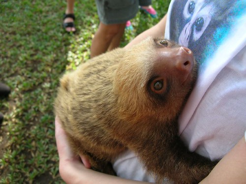 Baby sloth rescued by Caroline Castendijk.