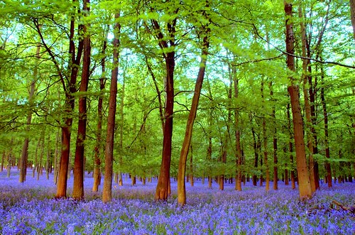 Dusk at the bluebell wood