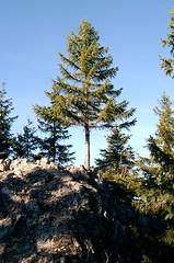 Gipfeltanne (bookhouse boy) Tags: november 2006 fhn aurach fischbachau aurachkpfl auracherkpfl