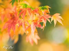 IMG_1700 (CBR1000RRX) Tags: 650d canon taiwan travel tourist landscape maple leaf autumn