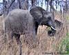 South Africa--Kruger Two 017 (REBlue) Tags: southafrica mpumalangaprovince krugernationalpark africanelephant bigfive