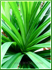 Pandanus amaryllifolius (Fragrant Pandan/Screwpine, Pandan Leaf/Leaves) at our backyard