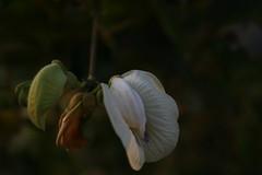 vagina flower, Phu Quoc