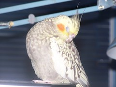 Can't you see I'm trying to sleep (makeupanid) Tags: sleepy tired loki cockatiel featheryfriday commentonmycuteness animaladdiction abigfave itookthistoday petcockatiel flickrkeepsinterruptingmysleeping nightall