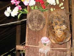 Tortoise shells as decor (procrastinatr) Tags: thailand tortoise rei hilltribe