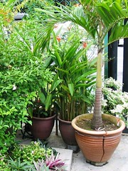 Manila Palm cracked its pot!