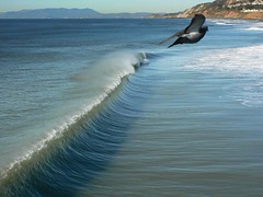 Bird Wave or Wave Bird or . . . (dm144) Tags: ocean blue bird lumix pacific pigeon wave shore pacifica pacificapier