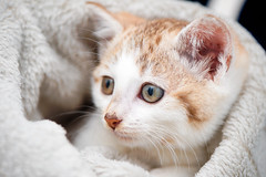 'Fizzy' (Jonathan Casey) Tags: norfolk cat rescue adoption kitten blanket nikon uk catchums chums d810 f28 105mm vr
