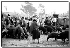 """Pigs Market • <a style=""""font-size:0.8em;"""" href=""""http://www.flickr.com/photos/49106436@N00/314751505/"""" target=""""_blank"""">View on Flickr</a>"""