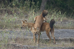 india257 (estenard) Tags: india endangered behavior bandhavgarh dhole cuonalpinus