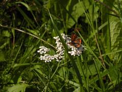Butterfly on White 2 (Kirsten M Lentoft) Tags: white flower green grass butterfly denmark small kloster esrum momse2600 kirstenmlentoft