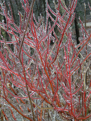 Icy Red Twig Dogwood