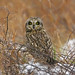 Short-Eared Owl by Jim Sullivan