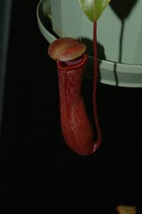 Red pitcher (Chugy) Tags: carnivorous nepenthes macroshot