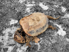 Frozen Alligator Snapping Turtle (Bob.Fornal) Tags: dead frozen snapping turtle alligator shell dehydrated desicated