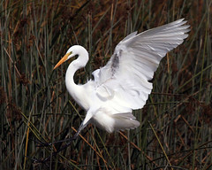 The Arrival (flopper) Tags: birds wings flight sfbayarea arrival egrets greategrets casmerodiusalbus interestingness39 interestingness28 animalkingdomelite goldenphotographer
