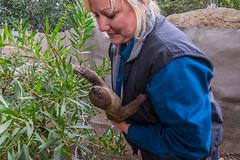 Baby Sloth Has Health Exam (San Diego Zoo Global) Tags: sloth sloths baby babyanimals babyanimal cute nature sandiegozoo sandiego wildlife elephantodyssey adorable family animalambassador