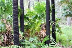 Smiths Crater with the Cabbage Tree Palm (Livistona australis) (Poytr) Tags: smithscrater diatreme cabbagetreepalm livistonaaustralis livistona cottagepoint kuringgaichasenationalpark sydneyrainforest arfp nswrfp qrfp vrfp palm outdoor blackandgreen greenandblack hypolepismuelleri arecaceae