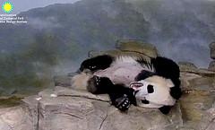Bei Bei   ./sx68.png (heights.18145) Tags: smithsoniansnationalzoo beibei meixiang corner panda bear pandabear cuteanimals bearcubs motheranimals ccncby