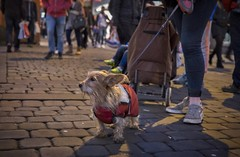 All wrapped up for winter. (f22photographie) Tags: dogs wintertime christmasshopping petaccessories pets marketstreetmanchester waiting candidstreetphotography streetphotography