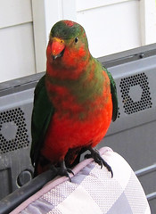 Wild King Parrot (The Lone Baker) Tags: red green kingparrot australia victoria parrot