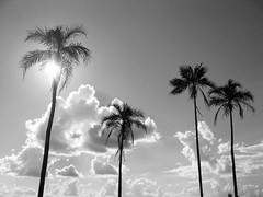 Vier (joaobambu) Tags: trees sky blackandwhite bw cloud plant tree nature silhouette topv111 backlight clouds contraluz palms skyscape ilovenature four flora topv333 view coconut silhouettes himmel pb cu palm cielo tropical nuvens wikipedia backlit quatro arvore arvores palmae coconuts bume rvore ceu koko pretoebranco vier baeume echapor echapora rvores nuven quattro sanc arecaceae imagekind palmaceae