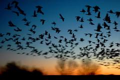 lift off (Mary Hockenbery (reddirtrose)) Tags: sky newmexico topf25 birds silhouette dawn amazing topv555 topv333 bravo topv1111 topc50 flock topv999 flight liftoff bosque 50100fav wetlands migratory topv777 bosquedelapache refuge birdsanctuary riogrande abigfave impressedbeauty msh0408 msh04081