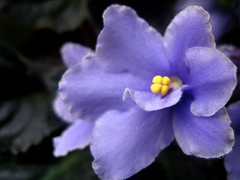 December violet (Milica Sekulic) Tags: flowers blue plant flower color macro nature beautiful yellow spring december purple natural violet makro priroda cvet cvece ljubicica