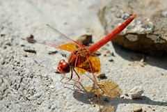Trithemis kirbyi (Bob Reimer) Tags: dragonflies fieldtrip oman odonata enhg asubaitah trithemiskirbyi wilayatmahdah