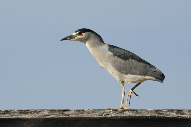 black-crowned-night-heron_mg_2090 by mikebaird