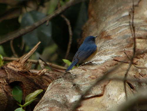 Blue-throated Blue Flycatcher, Gobemouche à menton bleu, Blue-throated Flycatcher, Cyornis rubeculoides, Cyornis rubeculoides, Sambar Biru Berhijrah, Blaukehlschnäpper, Niltava de Garganta Azul, sinikurkkusieppo, Niltava golablu, Blauwkeelniltava, นกจับแมลงคอสีน้ำเงินเข้ม, 蓝喉仙鹟, 藍喉藍鶲, lejsek modrohrdlý,