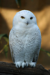 Snowy Owl (Turkinator) Tags: nyc white newyork freeassociation zoo snowy bronx owl snowyowl featheryfriday impressedbeauty