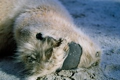 San Diego Zoo - Polar Bear Paw (jrayfarm1980) Tags: animals zoo bears polar