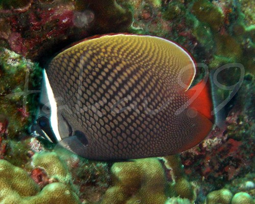 Redtail Butterflyfish at Similan Islands, Thailand
