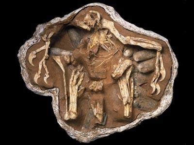 nesting oviraptor skeleton