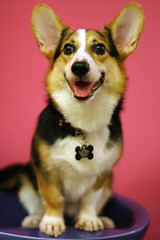 Dog - Tri-Colour Pembroke Corgi IMG (^hSirius) Tags: christmas xmas party portrait favorite dog pet pets cute male 20d dogs animal animals goldenretriever canon hair puppy studio fur jack pembroke nose golden interestingness big mutt mixed paw corgi eyes furry jrt long canon20d sheepdog russel longhair adorable favorites ears retriever dachshund professional explore terrier blond short views doggy welsh cutedog jackrusselterrier breed favourite cutedogs welshcorgi goldilocks bigears rapunzel mongrel mixedbreed cutest cardigan doggie beautifuleyes shetland studioportrait beautifuldog jackrussel muzzle legged hannibal   petportrait longhaired lector cutepuppy animalportrait muzzled studiophotography dogportrait  pembrokecorgi christmasdog corgipuppy handsomedog beautifulportrait cardigancorgi shortleg beautifuldogs largeears  shortlegged shortlegdog muzzleddog muzzledcorgi muzzledpet