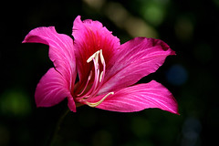 tropical flower ((vividElangs - Elangovan)) Tags: hawaii colorful kauai gardenisland tropicalflower iraivantemple
